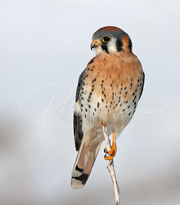 Male American Kestrel on a twig