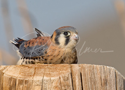 Young Kestrel taking a break.