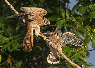 Female kestrel dropping off a bug for her youngster.