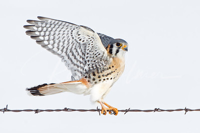 High Key Kestrel