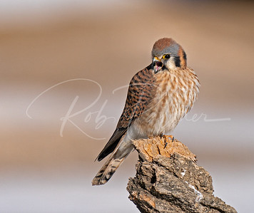 A female kestrel upset at a redtailed hawk flying by