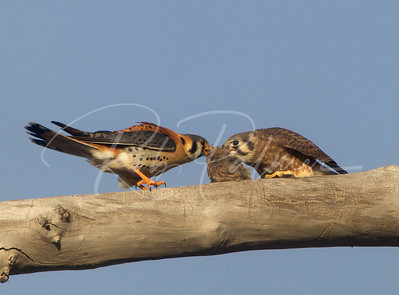 Adult male kestrel (left) giving a fledgling female a sparrow.