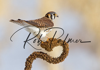 Female Kestrel on a mullen plant