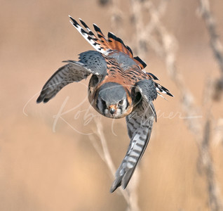 Kestrel on the attack!