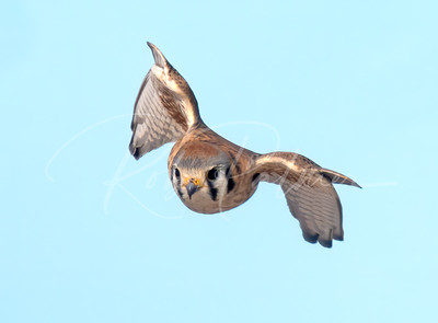 Female Kestrel in a dive