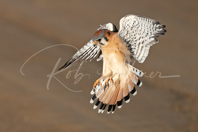 Male Kestrel landing