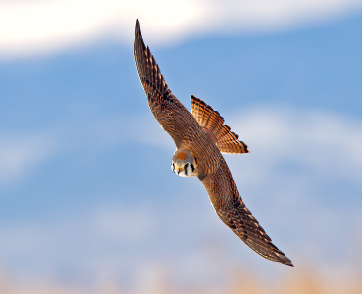 Female Kestrel diving