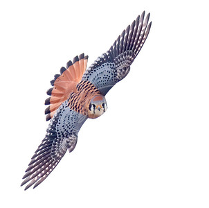 Beautiful Male Kestrel