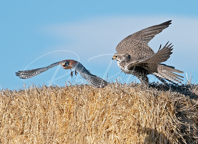 Kestrel diving past a prairie falcon