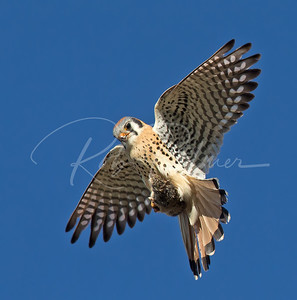 American Kestrel with a mouse