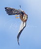 American Kestrel on the move