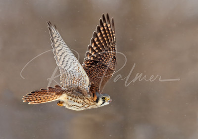 Female Kestrel leaving perch after a mouse meal.