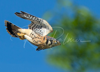 Just fledged Kestrel testing his wings.