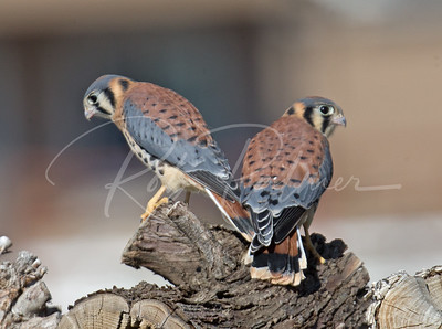Two young male Kestrels.