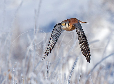 Male American Kestrel on a frosty morning
