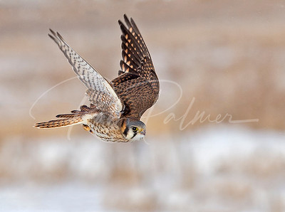 Female Kestrel in pursuit