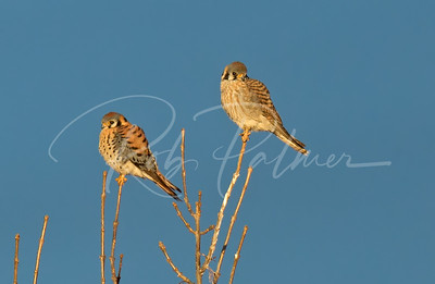 Male and Female Kestrels