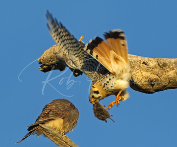 Adult male kestrel getting ready to transfer a mouse to a young female.