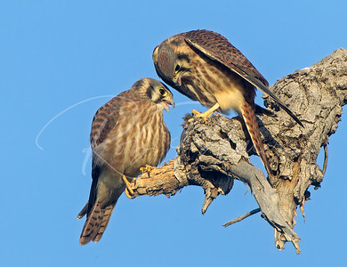Two immature female kestrels with a mouse.
