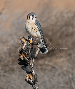 Male Kestrel on a Yucca