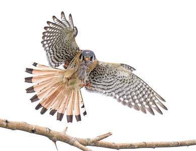 Male Kestrel landing with a mouse
