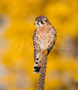 American Kestrel with fall color