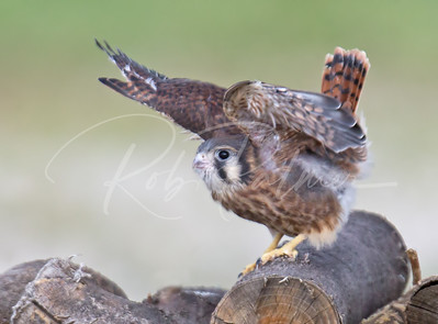 Female Kestrel doing her best wren impersonation.