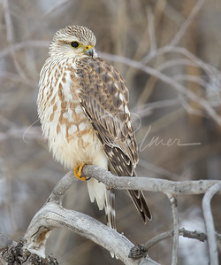 Young Male Merlin