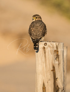 Prairie Merlin on the beach