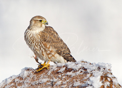 Prairie Merlin with the leg of its prey just finishing a meal.