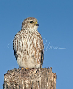 Merlin on a Post: 63468