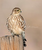 Little Merlin on a Fencepost