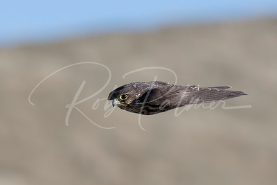 Black Merlin in pursuit