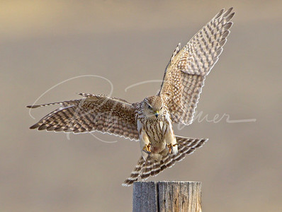 Prairie Merlin landing on a fence post.