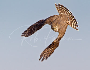 Merlin on the chase