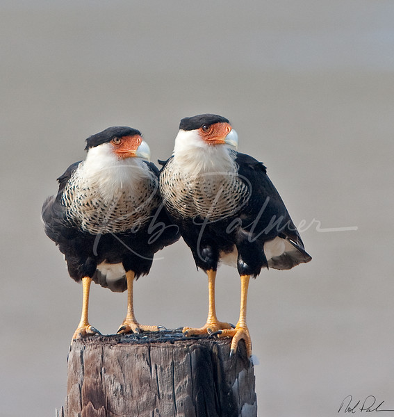 A Pair of Caracaras (pairacara!)