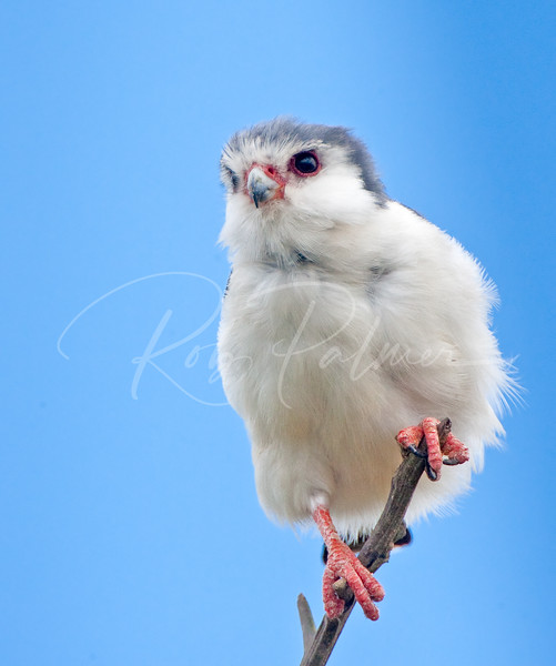 Pygmy Falcon:  Photographed on the Serengeti