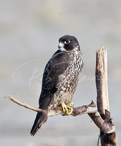 Young Male Peale's Peregrine Falcon
