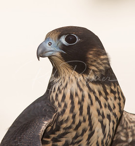 Portrait of an immature peregrine falcon.