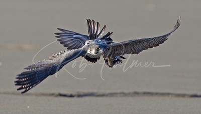 Peregrine falcon with her prey in tow.