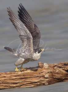 Peregrine Take-Off 9171