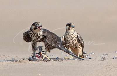Tundra Peregrines on S. Padre Beach