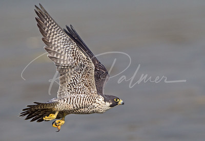 Female Peregrine on the move.