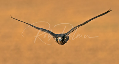 Young peregrine falcon invoming