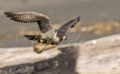 Peregrine in flight on the beach.