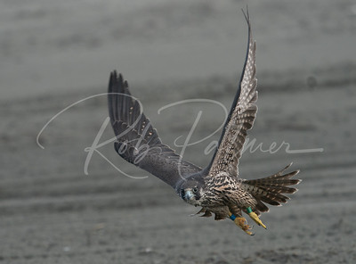 Banded Peregrine on the beach