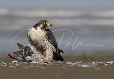 Peregrine on the beach with a pigeon.