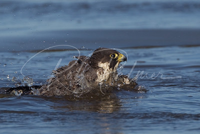 Peregrine Falcon bathing on a stream leading into the beach 9368
