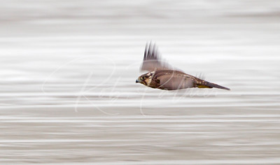 Immature Peregrine on the move