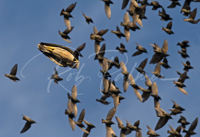 Adult Peregrine Falcon chasing starlings